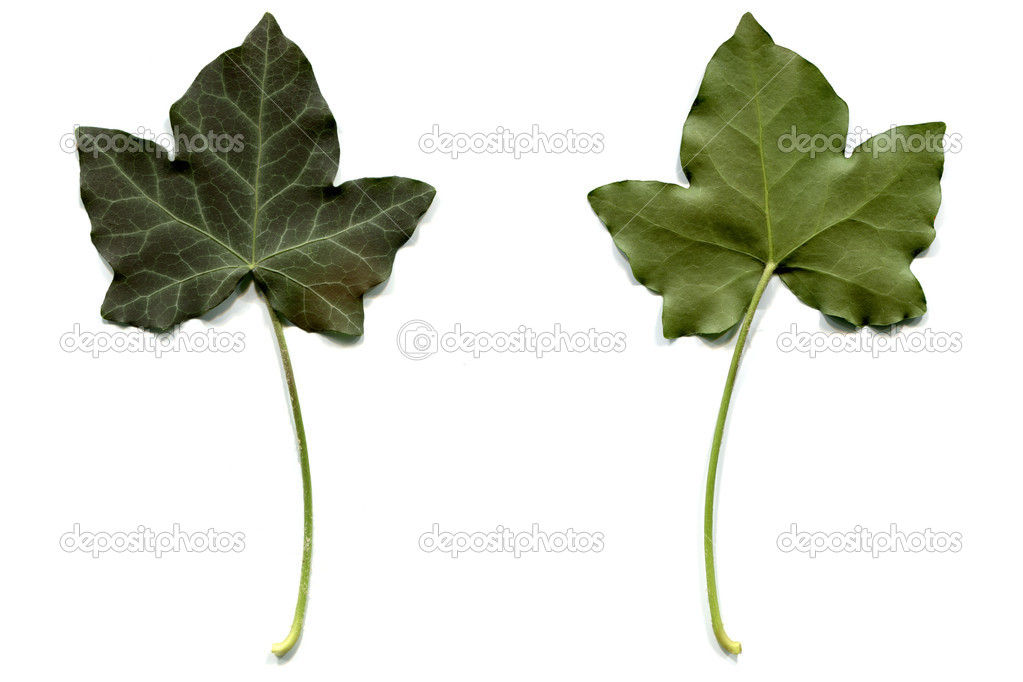 Ivy leaf - isolated over white background — Stock Photo #4052952
