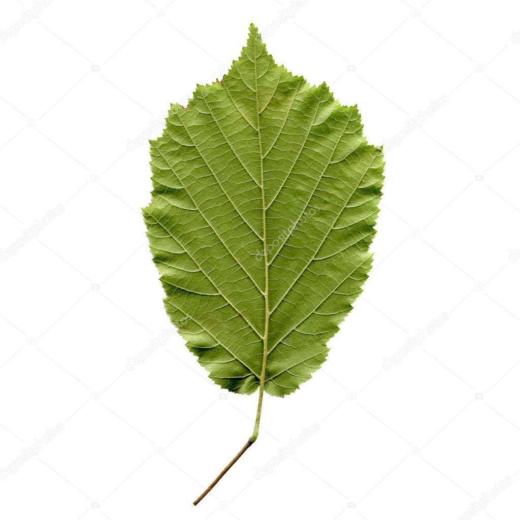 Hazelnut leaf — Stock Photo © claudiodivizia #4071421