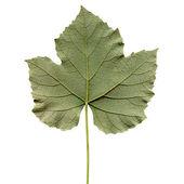 Vitis leaf — Stock Photo