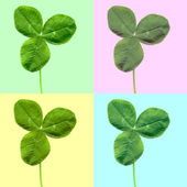 Shamrock clover leaf — Stock Photo