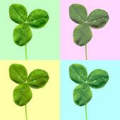 Shamrock clover leaf — Stock Photo