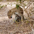 Stock Photo: Leopard lick itself