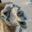 Stock Photo: Close-up of camel in desert