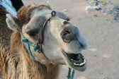 Close-up of camel in desert — Stock Photo