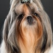Shih tzu dog, over dark background — Stock Photo