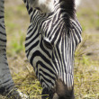 Eating zebra — Stock Photo