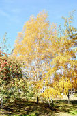 The autumn topic, the birch with yellow foliage against blue sky — Stock Photo
