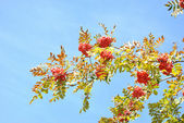 The autumn topic, the branch of rowan-tree with red berries — Stock Photo