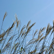 Stock Photo: Plants of Miscanthus sinensis against dark blue sky