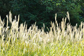 The plants of Miscanthus sinensis against dark background — Stock Photo