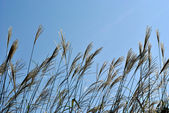 The plants of Miscanthus sinensis against dark blue sky — Stock Photo