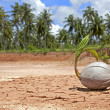 Royalty-Free Stock Photo: Coconut is sprouting up on the red cracked ground