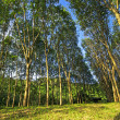 Young rubber trees in Thailand. - Stock Photo
