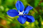 Blauwe gentiaan — Stockfoto