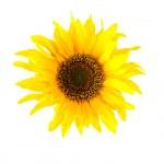 Sunflower on white — Stock Photo