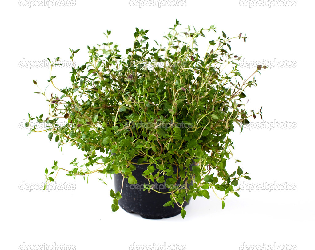 potted thyme stock photo 169 dianazh 4027931