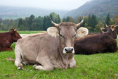 Cows in swiss countryside — Stock Photo