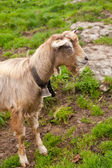 Beautiful goat in swiss countryside — Stock Photo