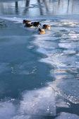 Geese on Lake Michigan — Stock Photo