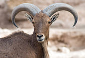 Mountain goat — Stockfoto