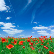 Poppy flower field in sunny day — Stock Photo