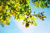 Green and yellow oak leaves — Stock Photo