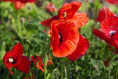 Large poppy flowers in meadow grass — Stock Photo