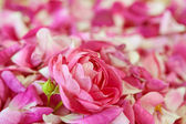 Rose bloom laying in petals — Stock Photo