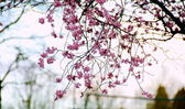 Bare cherry tree branch with flowers — Stock Photo