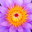 Close up of a purple water lily - ストック写真