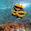 Stock Photo: Pennant coralfish or bannerfish