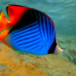 Threadfin butterflyfish (Chaetodon auriga) — Stock Photo #4482876
