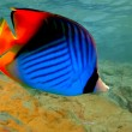 Threadfin butterflyfish (Chaetodon auriga) — Stock Photo #4482876