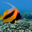 Pennant coralfish (Heniochus acuminatus) - Stock Photo