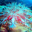 Stock Photo: Crown-of-thorns starfish