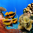 Photo of a coral colony and Bannerfish — Stock Photo