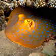 Blue Spotted Ray — Stock Photo