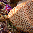 Stock Photo: Grooved Brain Coral