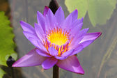 Close up of a purple water lily — Stock Photo