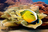 Polyp Butterflyfish and Soft coral — Stock Photo