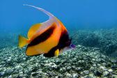 Pennant coralfish (Heniochus acuminatus) — Stock Photo