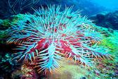 Crown-of-thorns starfish — Stock Photo