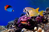 Underwater image of coral reef and tropical fishes — Stock Photo