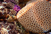 Grooved Brain Coral — Stock Photo