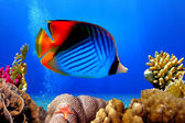 Butterflyfish and coral reef — Stock Photo