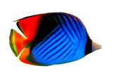 Threadfin butterflyfish — Stock Photo