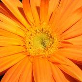 Gerbera flower background — Stock Photo