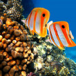 Coral reef and Copperband butterflyfish (Chelmon rostratus) — Stock Photo #4786899
