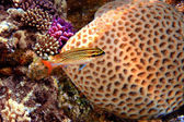 Bluestreak cleaner wrasse and Grooved Brain Coral — Foto Stock