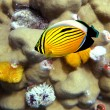 Polyp Butterflyfish - Stock Photo